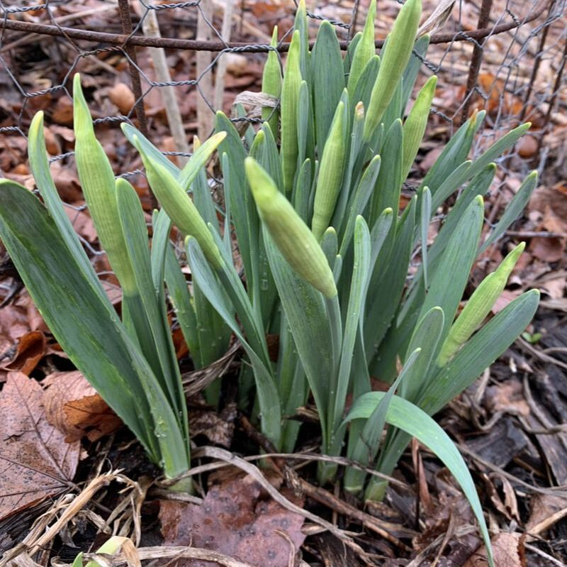 Picture of a clump of daffodils